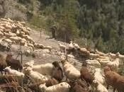 veuillez annoncer moutons laissés-pour-compte l'alpage Protection Suisse Animaux Bâle