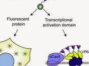 #SunTag #GFP #multimérisation #protéines Système d'étiquetage protéique pour amplification signal dans l'expression génique l'imagerie fluorescence