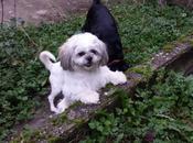 Ioko shih l'adoption chez chiens galgos