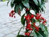 Arbuste d'intérieur sous-bois baies décoratives hiver: l'ardisia