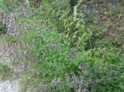 Origanum vulgare, hiver
