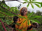 Ghana: projet Monsanto obligerait utiliser semences modifiees