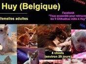 Aidez Philippe retrouver chihuahuas volés Belgique