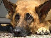 chien sacrifie pour sauver celle maître