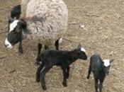 Adoptez agneaux noir mèche blanche Linux Loustik