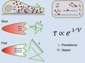 #Cell #actine #flux #cellule #polarité #persistancecellulaire flux d'actine comme médiateurs couplage universel entre vitesse mouvement persistance cellulaires