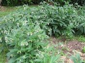 purin consoude peut-il être comparé produit traitement chimique insecticide fongicide