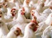 guerre poulet exemplaire Brésil