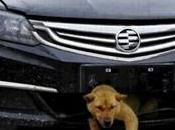 Percuté voiture, chien survit fait dans calandre