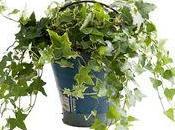 lierre Hédéra, plante mois d'avril l'OHF