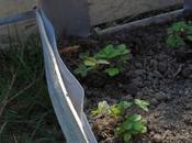 Planter fraisiers cagette