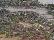 Charente-Maritime algues vertes sont retour plages