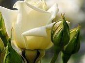 rose, fleur préférée Français