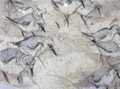 colonie bécasseaux pose Quat'Sardines