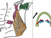 Rôle muscle ptérygoidien médial dans dysfonctions cranio-mandibulaires