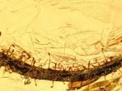 feuille carnivore retrouvée dans l'ambre
