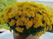 chrysanthèmes décoration pour maison balcon.