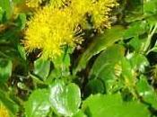arbuste décoratif: azara.
