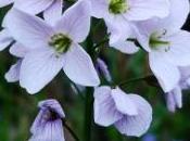 cardamine petite fleur prés