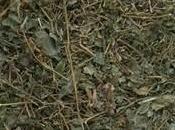 Tout savoir Jiaogulan, l'herbe l'immortalité