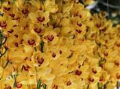 Orchidées Cymbidium branche