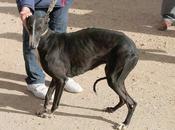 Lévrier galga noire retrouve l'adoption chez chiens galgos après misère