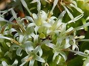 Pétasite blanc (Petasites albus)