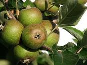 faire petites pommes vertes d'éclaircissage