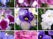 Saint Paulia violette d'Afrique