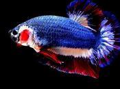 Betta Splendens prendra titre poisson national Thaïlande