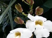 thunbergia grandiflora alba