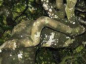 Hêtre tortillard (Fagus sylvatica tortuosa)