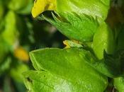 Rhinanthe petites fleurs (Rhinanthus minor)