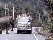 Thaïlande, patrouilles routières d'éléphants l'étude (vidéo)