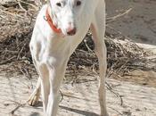 Camillo superbe Podenco peine sociable affectueux adopter chez chiens galgos.