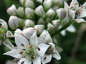 Ciboulette Chine (Allium tuberosum)