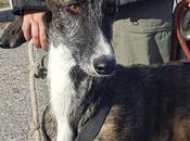 Breixo jeune lévrier galgo douceur gentillesse adopter chez chiens galgos