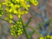 Pastel (Isatis tinctoria)