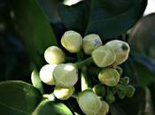 Pruneaux, Madère fleurs pamplemoussier