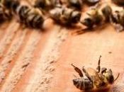 Nouvelle alerte disparitions d'abeilles