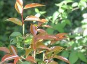 Camellia cuspidata 'Spring Festival'