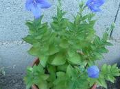 PLATYCODON SANTOLINE jardin cette semaine