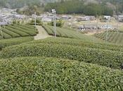 Sencha Asamiya, cultivar Kôshun