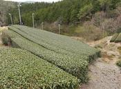 Sencha Asamiya, cultivar Oku-hikari