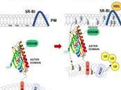 #cell #protéineaster #transport #cholestérol Protéines Aster Facilitent Transport Cholestérol vésiculaire depuis Membrane Plasmique jusqu'au Réticulum Endoplasmique dans Cellules Mammifères