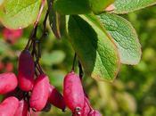 Berbéris commun (Berberis vulgaris)