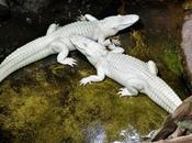 alligators albinos Paris… Aquarium tropical Palais Porte Dorée