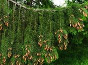 Épicéa commun (Picea abies)
