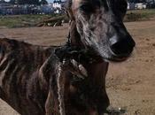 Pénélope histoire d'une petite galga pendue l'adoption chez chiens galgos
