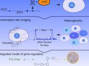 #Cell #gène #hétérogénéité Dynamique Intrinsèque d'un Gène Humain Révèle Base l'Expression l'Hétérogénéité